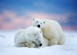 Dwa, Niedźwiedzie, Polarne, Śnieg