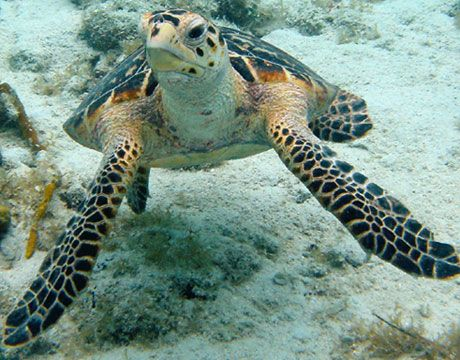 Hawksbill sea turtle. I want 10 of these :)