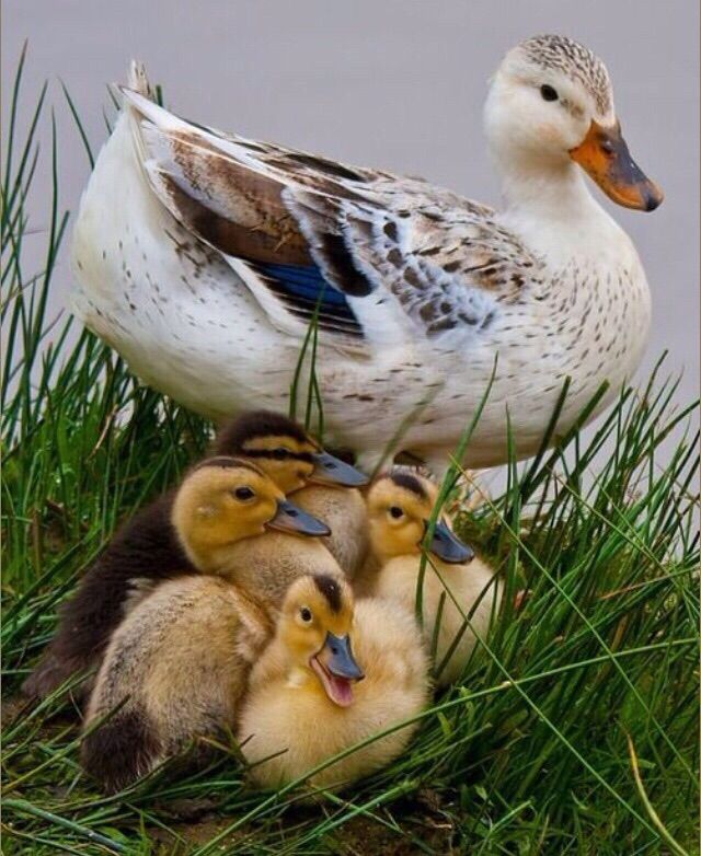Animais domésticos #animals #duck #patos