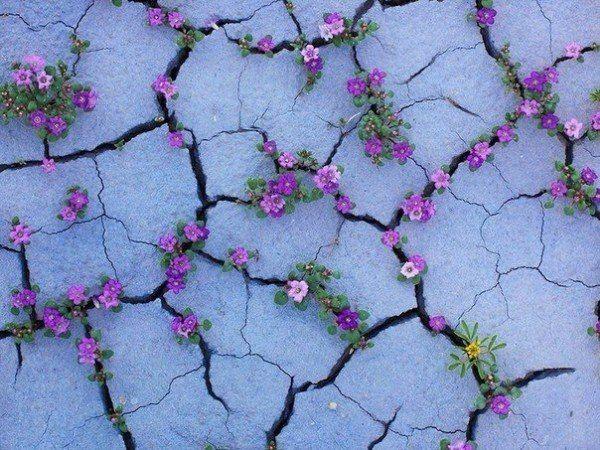 Бедленд (badlands) - бесплодные земли на американском западе, при благоприятном стечении обстоятельств наполняются необычайным обилием цветов. Количество влаги, которая появляется в этих суровых местах, небольшое, поэтому зрелище это редчайшее.