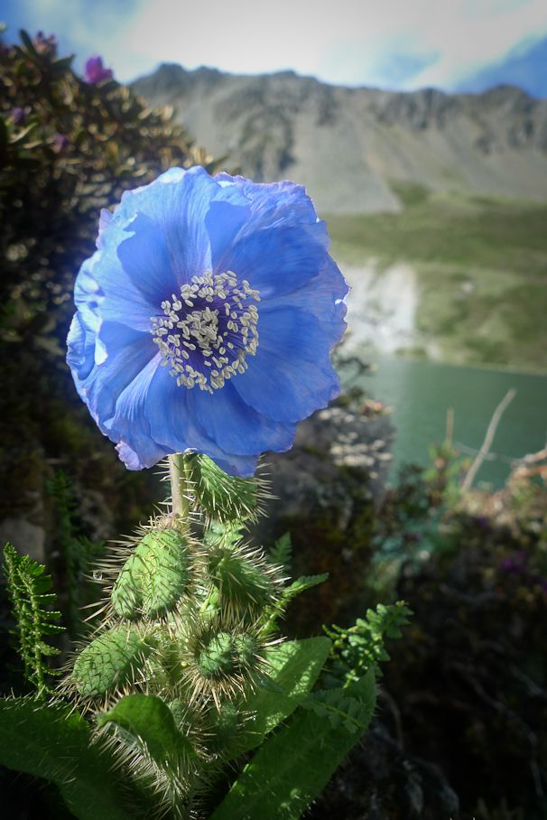 """Himalayan Blue Poppy 'Meconopsis', the national flower of Bhutan.  //  WHAT A GORGEOUS FLOWER! BUT CHECK OUT THAT PLANT IT'S ATTACHED TO!!!  HOLY MACKERAL! I GUESS WE REALLY CAN'T CONSIDER THAT A """"CUTTING GARDEN"""" FLOWER, HUH?! lol!  ♥A"""