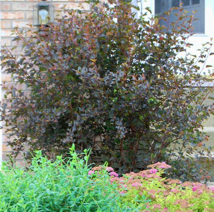 64 best images about physocarpus opulifolius 39 summer wine 39 on pinterest shrubs devil. Black Bedroom Furniture Sets. Home Design Ideas