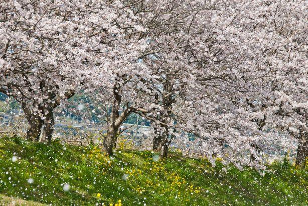 福岡県筑後地方にある耳納連山から吹き降ろす風が、満開の桜を散らせる桜 吹雪。