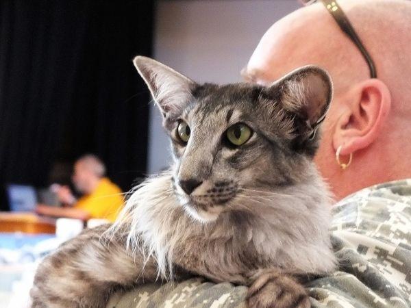 11 best Tigers images on Pinterest | Big cats, Wild ... Oriental Cat Lifespan