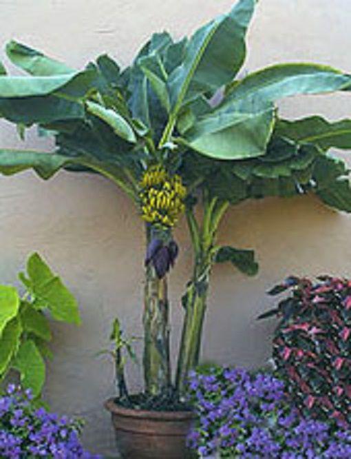 Bananas!  - Grow 'em in pots!