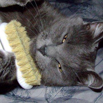 Como fazer o gato se acostumar a escovar os pelos