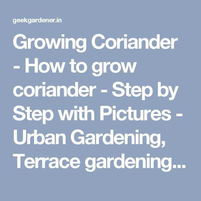 Growing Coriander - How to grow coriander - Step by Step with Pictures - Urban Gardening, Terrace gardening and Hydroponics
