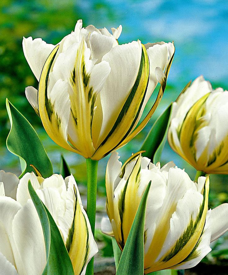 Tulipán 'Exotic Emperor'. A Tulipán 'Exotic Emperor' szirmait díszítő zöld és sárga csíkok igazán egzotikus megjelenést kölcsönöznek ennek a virágnak, ráadásul ez a tulipán még kellemes illatot is áraszt. Kitűnő vágott virág.