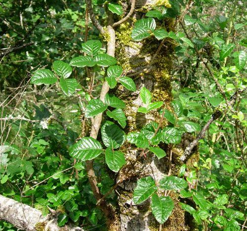 Shiny Poison Oak Leaves