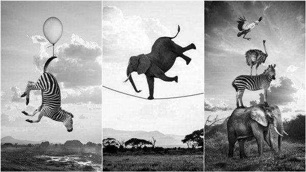 Акуна Матата — веселая жизнь животных в Кении  на фотографиях Томаса Сабтила