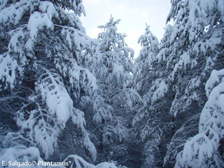 Pinus silvestris resistiendo el duro invierno de las Sierras Orensanas. http://www.plantamus.es/venta-de-arboles-plantacion-plantones