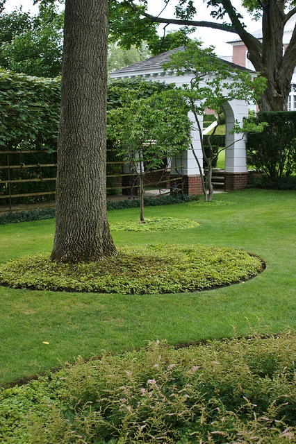 Lysimachia nummularia circles under mature trees   Flickr - Photo Sharing!