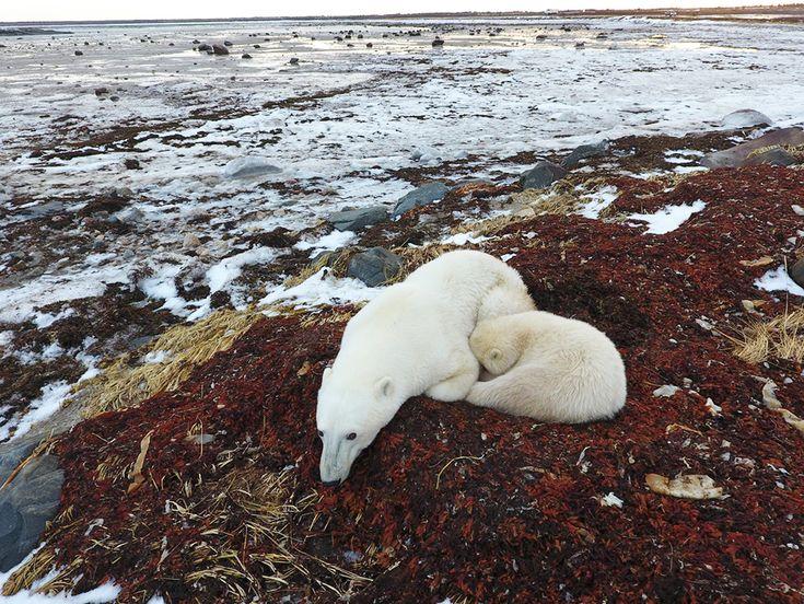 Alle ore 12.00 del 9 novembre 2015 a Churchill, cittadina canadese che si affaccia sulla Baia di Hudson, il termometro segnava una minima di -20 °C. Oggi, a un anno di distanza, il termometro segna +3 C°.   Potrebbe essere un caso, ma non lo è: l'analisi delle temperature degli ultimi