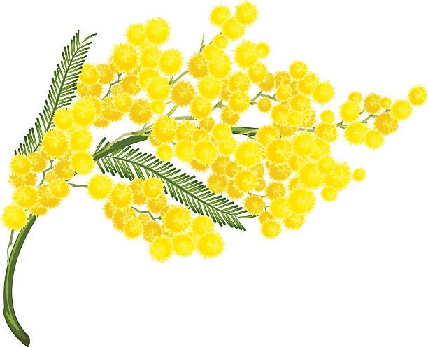 Image Result For Wattle Flower Stencil Flower Drawing Mimosa Flower Flower Symbol