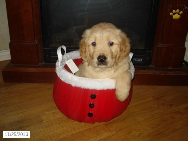 Jonathan - Golden Retriever Puppy for Sale in Neptune, NJ - Golden Retriever - Puppy for Sale