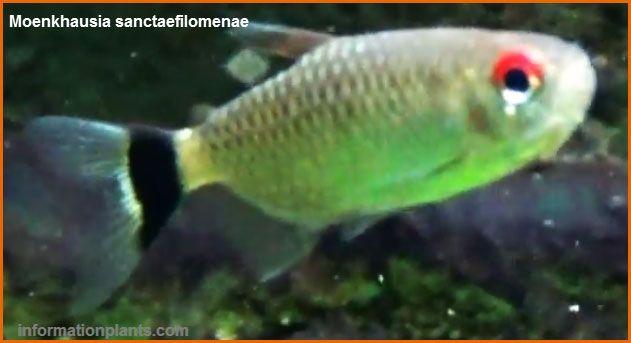تترا ذات العين الحمراء Red Eye Tetra سمك زينة انواع الاسماك معلومان عامه معلوماتية نبات حيوان اسماك فوائد Fish Pet Pets Animals