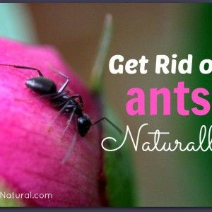 Get Rid of Ants Naturally - House Ants and Carpenter Ants. Fire ants remedy in comments