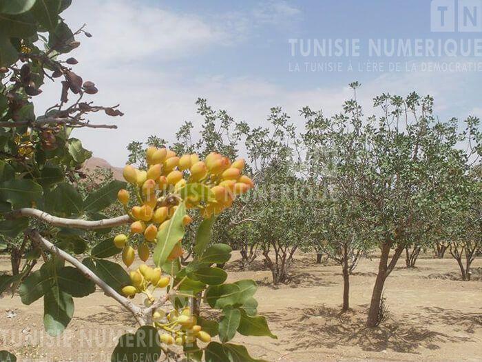 Tunisie[Photos] : Production record de pistaches à Gafsa - Actualites en Tunisie et dans le monde sur Tunisie Numerique