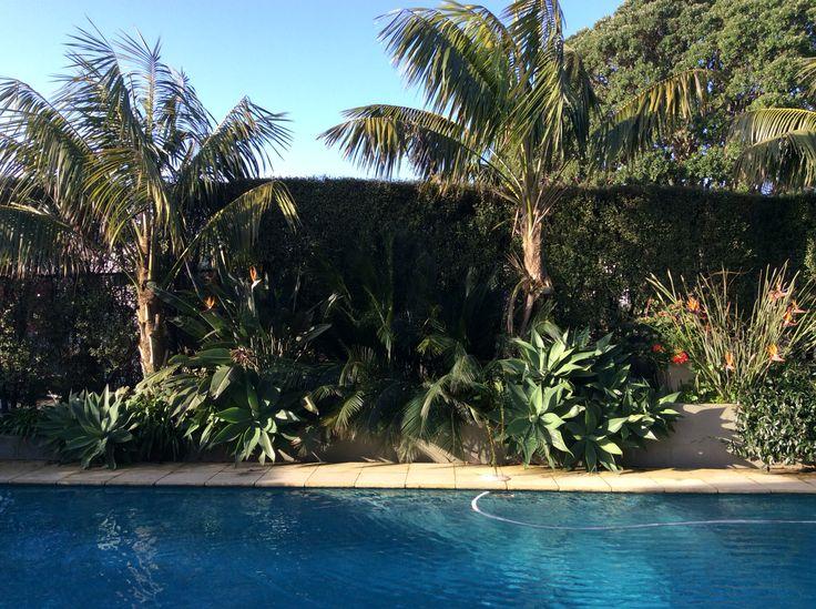 Kentia palms Macrozamia communis cycad agave attenuata star jasmine pittosporum tennufolium hedge