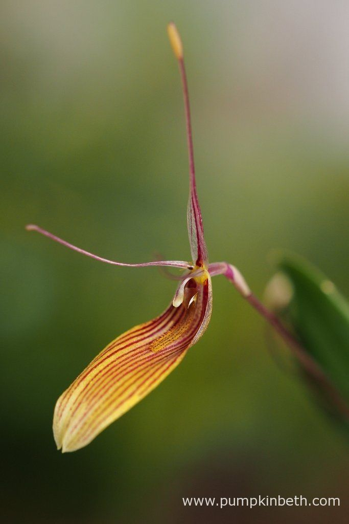 I really enjoy growing Restrepias, this is Restrepia antennifera, pictured in…