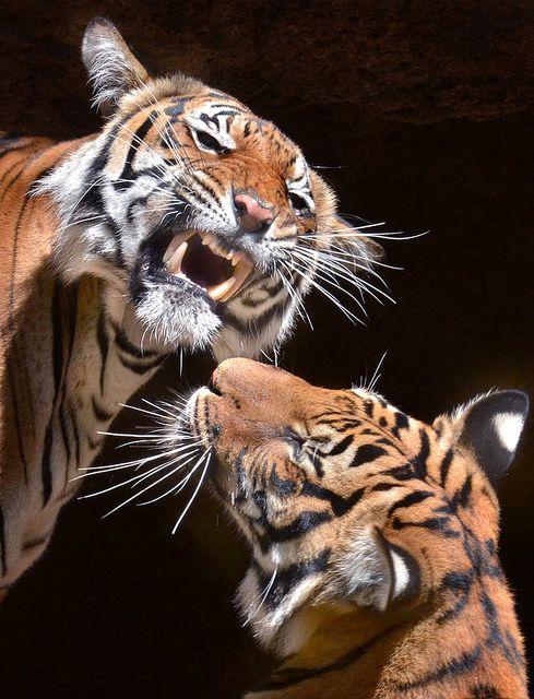 Best 25  Tiger year ideas on Pinterest | Tiger tiger, Asian tigers ...