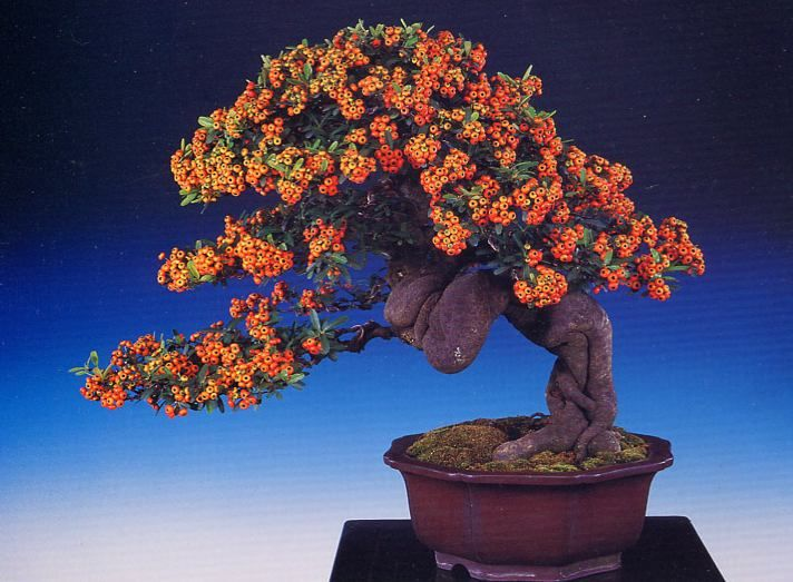 16 best southern bonsai images on pinterest bonsai trees for Most expensive bonsai tree ever