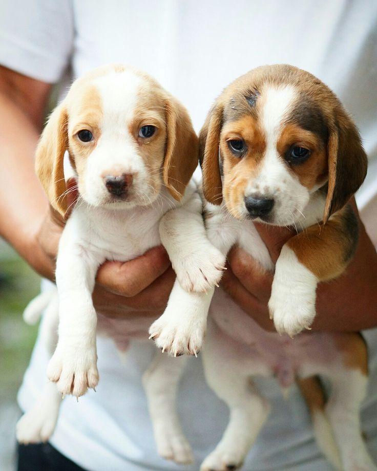 Beagle lemon & tricolour