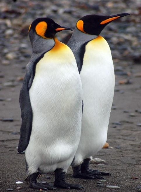 King penguins (in Spanish Pinguino Rey) (Aptenodytes patagonicus) are found on subantarctic islands at the northern reaches of Antarctica, as well as Tierra del Fuego, the Falkland Islands, and other temperate islands of the region.
