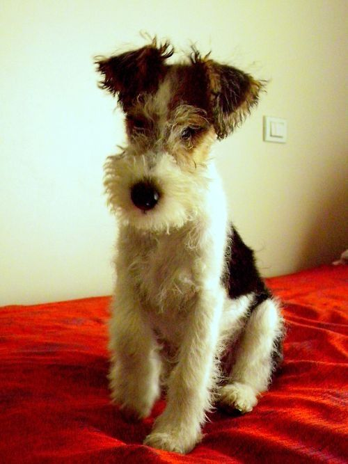 A baby Wire Fox terrier. Cannot resist!                                                                                                                                                                                 More