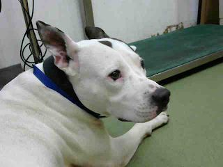 DEVORE,CA. EUTH LIST 05/18/18. Baby ID#A681. 2 yr. old female Pit Bull Terrier. Rescue only. Behavior (barking & growling aggressively. Arrived 05/08/18.