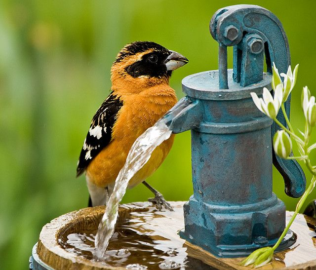 everybody needs h2o: Little Birds, Water Features, Blue Yellow, Birds Bath, Beautiful Birds, Cold Drinks, Gardens Visitor, Baltimore Orioles, Feathers Friends