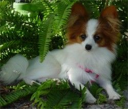 Papillon puppy & Finding Ethical Top Qulaity Pap Breeder of Papillon   puppy, puppies, dogs.