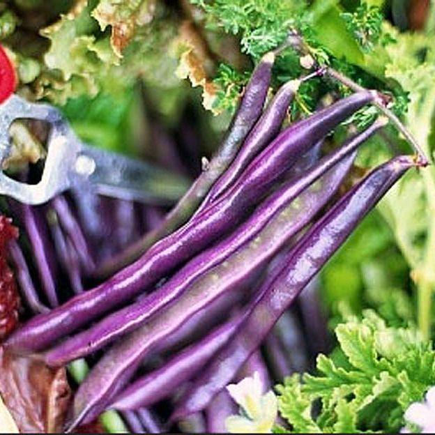 Organic Louisiana Purple Pod Pole Bean Heirloom Vegetable Seeds