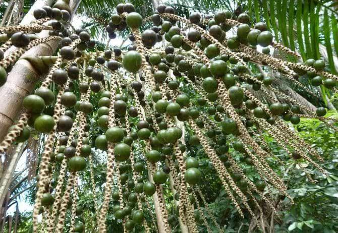 Зеленые ягоды асаи | Ягода асаи, Ягоды, Зелень