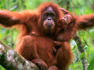 orangutan with baby - listed as a Critically Endangered Species by the World Wildlife Federation
