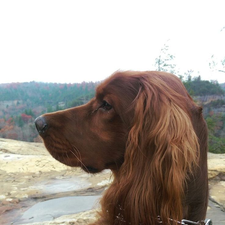 Fancy Red Bentley Fergus out on the Sky Bridge in Red River Gorge