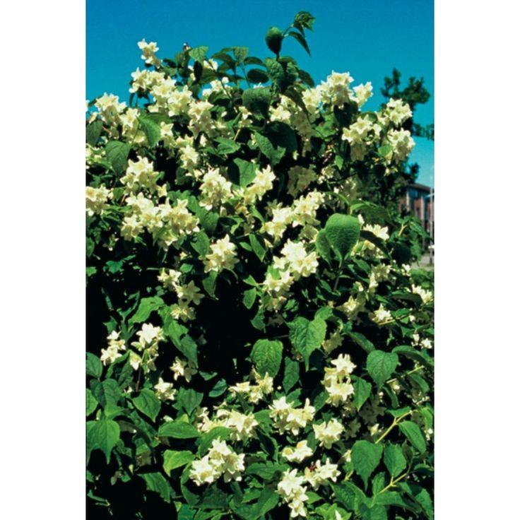 Duftskjærsmin  H 2,5-3, Avstand 2-3 m, solrikt, blomstring jun-jul, duft