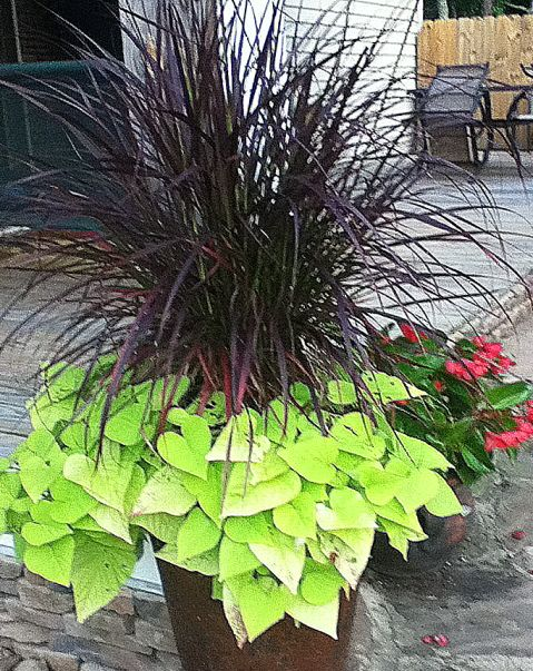 Ornamental grass and potato vine