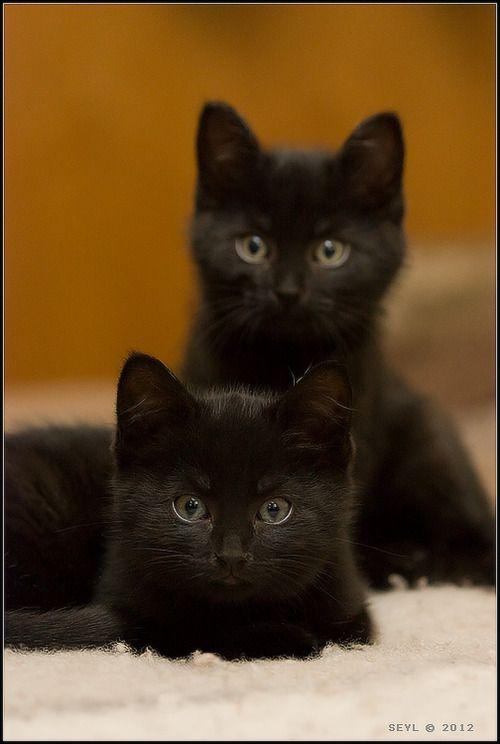 Twins Black cats  beauty