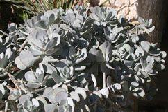 ...favourite coastal plants...cotyledon orbiculata...