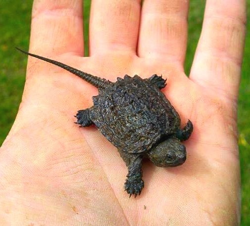 Baby Snapping Turtle my nephew caught!