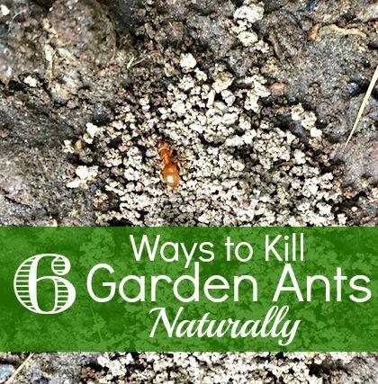 How to kill garden ants naturally