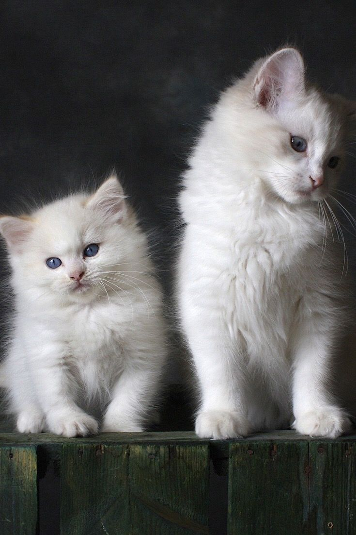 Adorable And Beautiful Two White Kittens Can You Able Resist Their Beauties Kittens Kittenscutest Catlovers Ca In 2020 Kittens Cutest Cute Animals Beautiful Cats