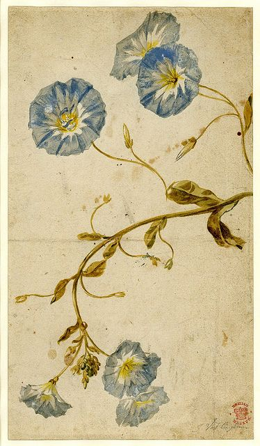 water color by Dutch painter, Jan van Huysum     ( courtesy British Museum): Watercolor, White Flower, Morning Glories, Mornings Glories, Jan Vans, Water Color, Vans Huysum, Blue Flower, British Museums