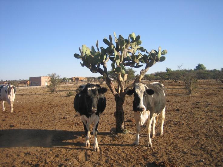 Vacas gemelas