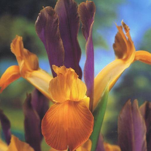 Bulbi di Iris Bronze Queen. Raggiunge i 55 cm di altezza e la fioritura primaverile è tardiva. Sacchetti contenenti 5 bulbi