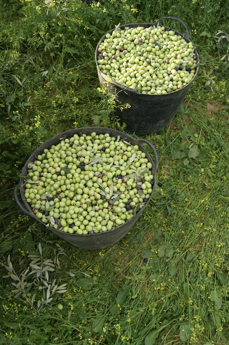 Cestos de Aceitunas recogidas a mano. Baskets of hand-picked olives. #Tartessus #Organic #EVOO #AOVE
