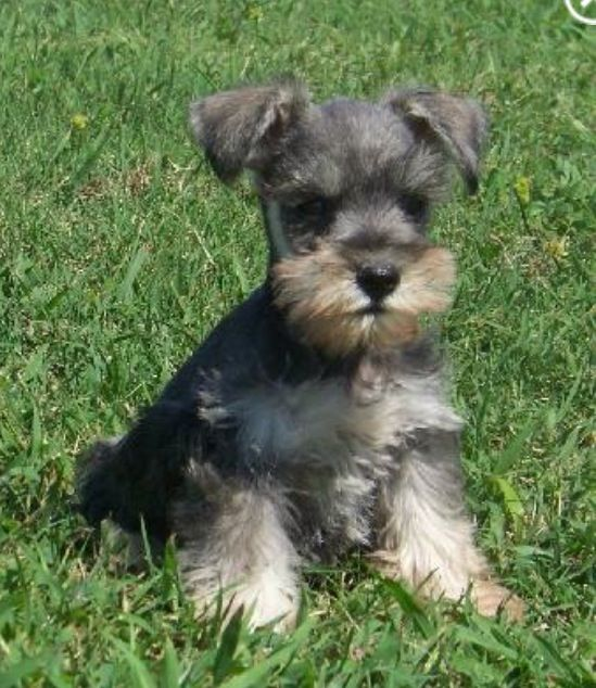 Miniature Schnauzer-If I were going to have a dog, this is the dog I would have.