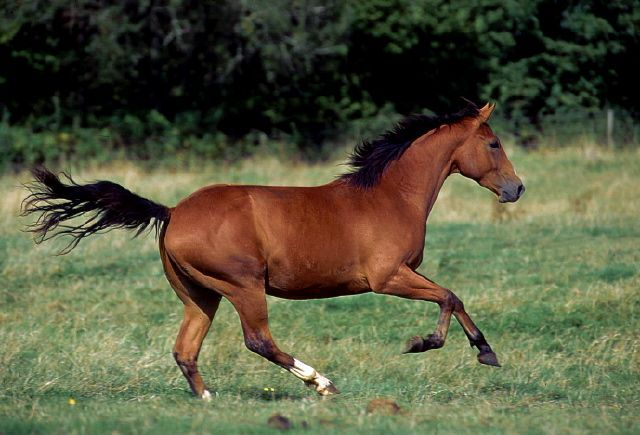 Quarter horses have record breaking speed...