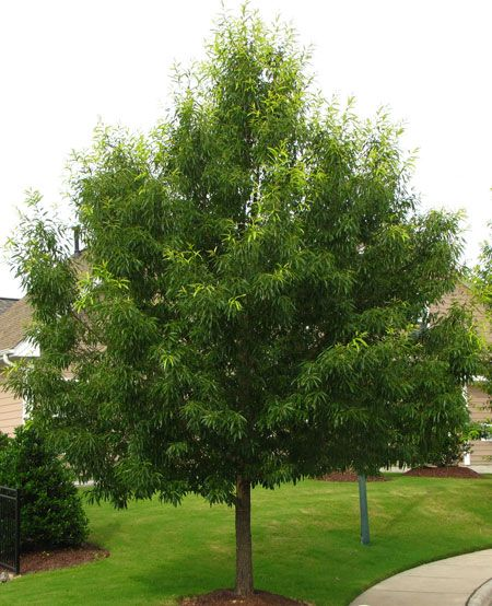 Sawtooth Oak Trees | Fast Growing Trees - Zones: 5-9